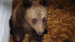 Εκτός κινδύνου ο μικρός αρκούδος που είχε βρεθεί πυροβολημένος στο