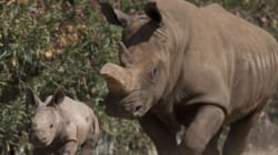 Μόνο 5 λευκοί ρινόκεροι απέμειναν στον κόσμο. Πέθανε ο 44χρονος Ανγκαλίφου στην