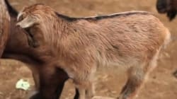 Ces chèvres qui montent sur tout et n'importe quoi