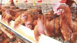 '고병원성 AI발생' 미국산 닭·오리 가금류