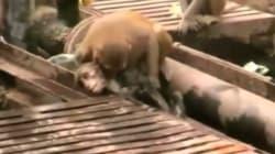 Un singe sauve son ami électrisé sur une voie