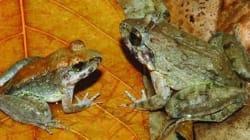 알 대신 올챙이 낳는 개구리 첫
