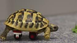 휠체어 대신 레고 바퀴를 단 거북이