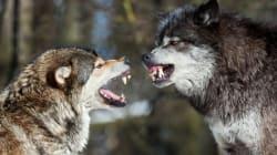Zwei Wölfe wohnen ach in meiner