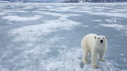 Land-Based Food Won't Sustain Polar Bears in a Low-Ice Arctic, Study