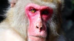 일본 동물원에서 미남 선거를