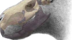 Το μεγαλύτερο ινδικό χοιρίδιο του κόσμου ζύγιζε ένα τόνο και δάγκωνε σαν