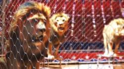 Λιοντάρι επιτίθεται σε γυναίκα θηριοδαμαστή κατά τη διάρκεια παράστασης σε