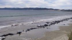 200 baleines échouées en Nouvelle-Zélande, dont la moitié sont