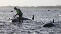 Πάνω από 100 φάλαινες νεκρές σε παραλία της Νέας