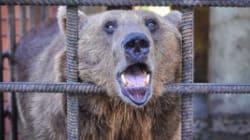 Sauvetage de deux ours alcooliques en