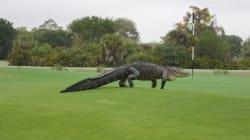 Les gros alligators, des visiteurs réguliers de ce club de golf