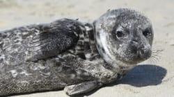 Χιλιάδες θαλάσσια λιοντάρια που λιμοκτονούν έχουν εξοκείλει στις ακτές της