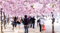 2016년 벚꽃