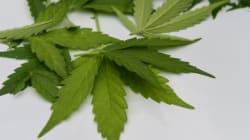 Chili: Première récolte de cannabis autorisé à des fins
