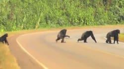 침팬지도 길 건널 땐 좌우를