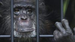 뉴욕 대법원이 침팬지를 '법적인 인간'으로 인정했다고? 환호하기에는