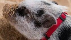 하와이에는 행복한 아기 돼지가 산다(사진,