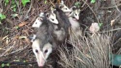 창고에서 발견된 주머니쥐