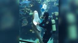 Ce requin aime vraiment se faire gratter le