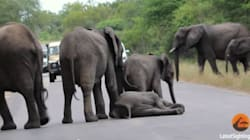 Les attendrissantes images d'un éléphanteau aidé par les