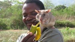 아프리카 사람들을 살리는 주머니쥐 특공대(사진,