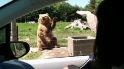 Cet ours a tout