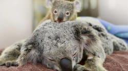 수술 받는 엄마를 안아준 새끼 코알라(사진