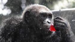 침팬지도 인간처럼 술을