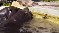 하마들이 연못에 갇힌 새끼 오리를