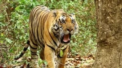 Pictures: My Private Tiger