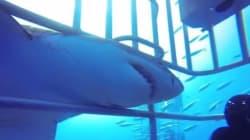Μεξικό: Λευκός καρχαρίας εισχωρεί σε κλουβί με δύτες την στιγμή που ο «συνεργός» του κάνει
