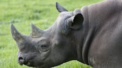 De fausses cornes de rhinocéros pour réduire le