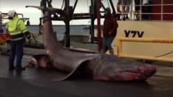 Ένα πραγματικό τέρας του βυθού: «Καρχαρίας- προσκυνητής» 6,3 μέτρων στα νερά της