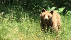 Δίσταζαν να πατήσουν το χώμα οι 2 αρκούδες που βρίσκονταν επί 20 χρόνια σε