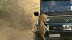 L'attaque impressionnante d'un léopard sur un guide en Afrique du