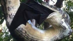 Αυστραλία: Πύθωνας - τέρας καταβροχθίζει ατάραχος μία μαύρη