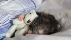 Τα ποντίκια μπορούν να δουν το μέλλον στα όνειρά τους σύμφωνα με νέα