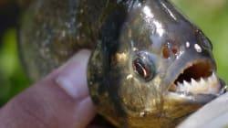 강원도 저수지에서 발견된 아마존 육식어종 피라니아와