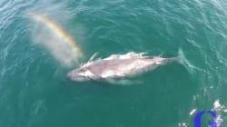 무지개를 뿜어내는 혹등고래를