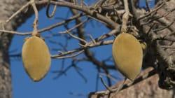 Baobab ist die