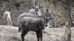 멸종위기종 산양 4마리, 오대산에 방사됐다(사진,