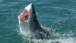 Τασμανία: Αντίκρισε τον 4,5 μέτρων μήκους καρχαρία να κατασπαράζει τον πατέρα
