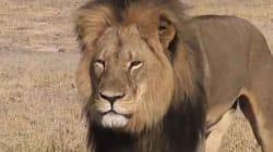 Le lion le plus célèbre du Zimbabwe tué par un