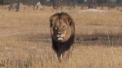 Le Zimbabwe restreint la grande chasse après la mort du lion