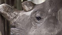 이제 지구에는 단 4마리의 북부흰코뿔소만