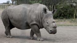 Il ne reste plus que 4 rhinocéros blanc du nord dans le