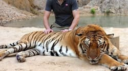 Tiger Has To Lose Its Fangs Because Of Your Selfie | How To Become A Humane