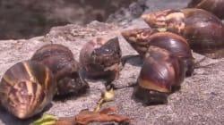 Η επέλαση των γιγαντιαίων σαλιγκαριών: Αφρικανικά γαστερόποδα προκαλούν πανικό στην
