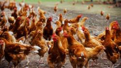 Les volailles britanniques et allemandes interdites d'importation au